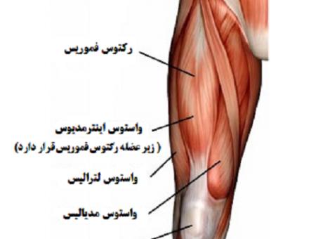 عضلات چهارسر ران